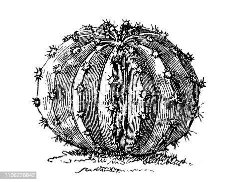 Illustration of a hedgehog, sea-urchin cacti or Echinopsis eyriesii