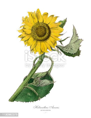 Very Rare, Beautifully Illustrated Antique Engraved Victorian Botanical Illustration of Helianthus annus, Sunflower Plants, Published in 1886. Source: Original edition from my own archives. Copyright has expired on this artwork. Digitally restored.