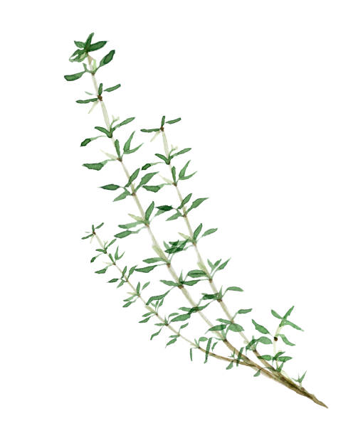 herb herb thyme stock illustrations