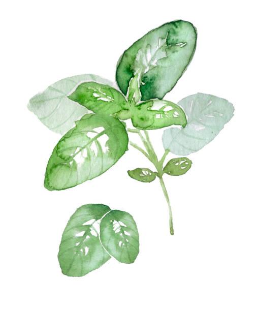 herb vector art illustration