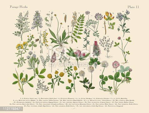 Very Rare, Beautifully Illustrated Antique Engraved Victorian Botanical Illustration of Forage Herbs anb Spice: Plate 11, Published in 1886. Source: Original edition from my own archives. Copyright has expired on this artwork. Digitally restored.