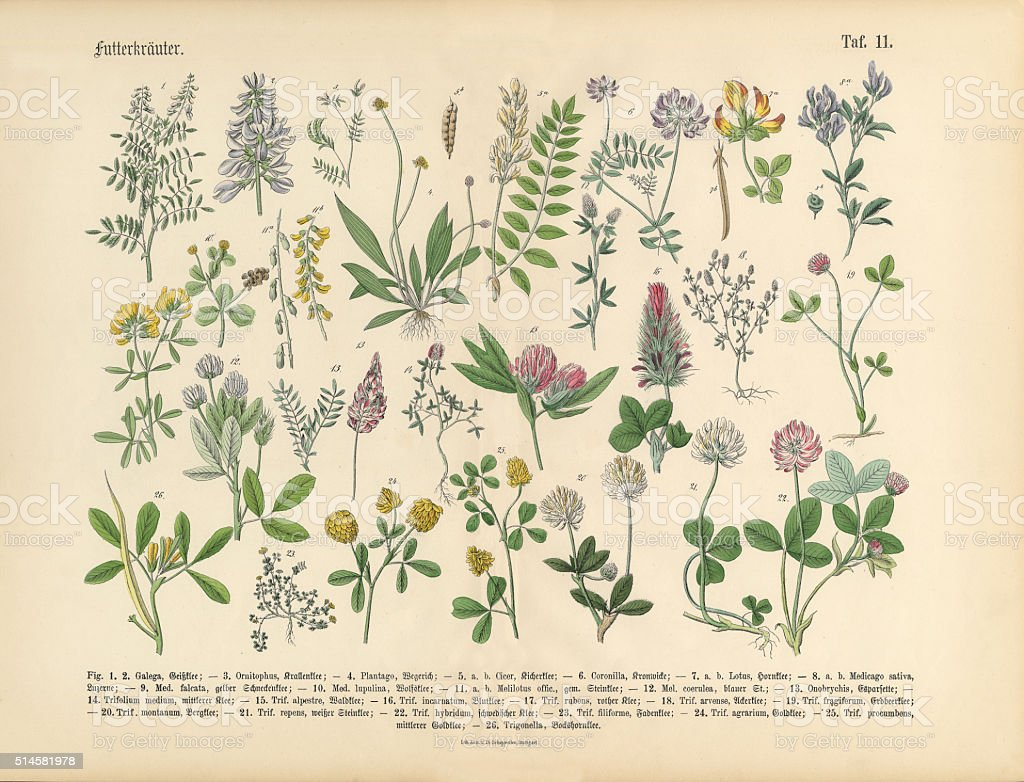 Herbs Anb Spice Victorian Botanical Illustration Royalty Free