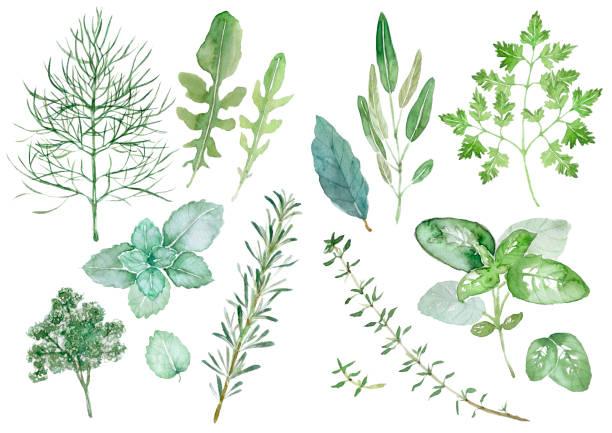 zioła - liść mięty przyprawa stock illustrations
