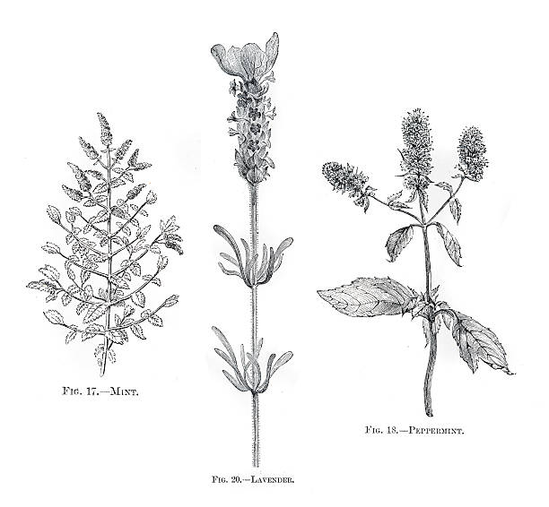 Herbs mint lavender engraving 1898 Herbs mint lavender engraving mint candy stock illustrations