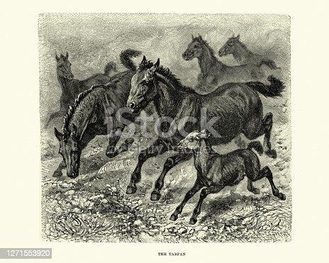 istock Herd of Tarpan (Equus ferus ferus), Eurasian wild horse 1271553920