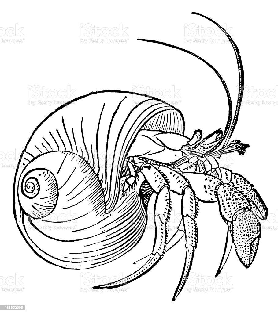 Hermit Crab I Antique Animal Illustrations Stock Vector Art & More ...