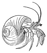 Hermit crab I Antique Animal Illustrations