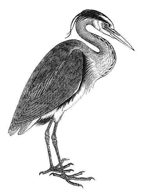 Heron The herons are long-legged freshwater and coastal birds in the family Ardeidae. Illustration was published in 1870 heron stock illustrations