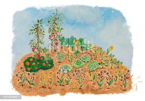 istock Hügelkultur. Permaculture landscape illustration with companions. Tomatoes basil carrots radishes lettuces 1214518411