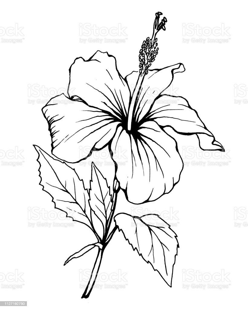 Hibiscus Flower Black And White Outline Illustration Hand Drawn Work