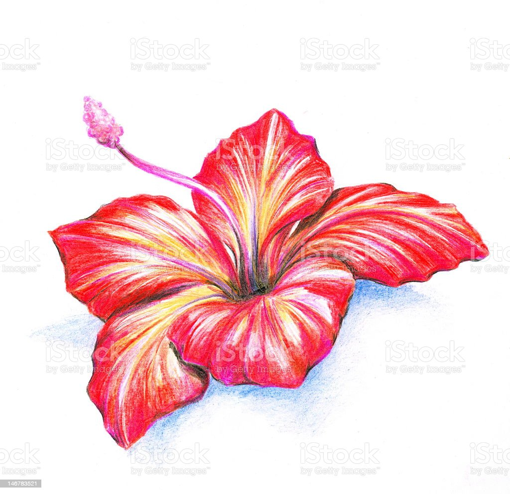 Hibiscus Stock Vector Art More Images Of Art And Craft 146783521