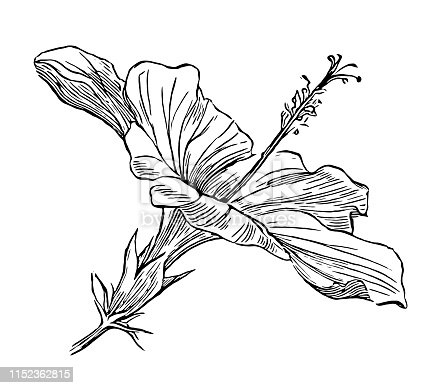 Illustration of a Hibiscus rosa-sinensis, known colloquially as Chinese hibiscus, China rose, Hawaiian hibiscus, rose mallow and shoeblackplant