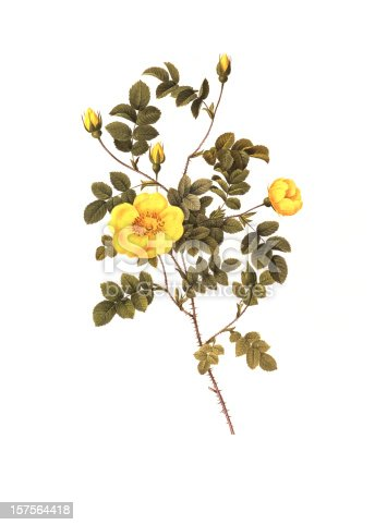 istock High Resolution Yellow Rose | Antique Flower Illustrations 157564418