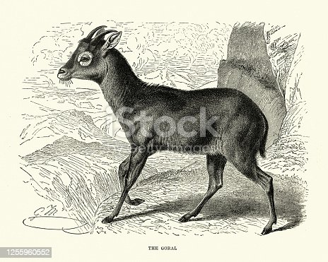 Vintage illustration of Himalayan goral (Naemorhedus goral), a bovid species found across the Himalayas.