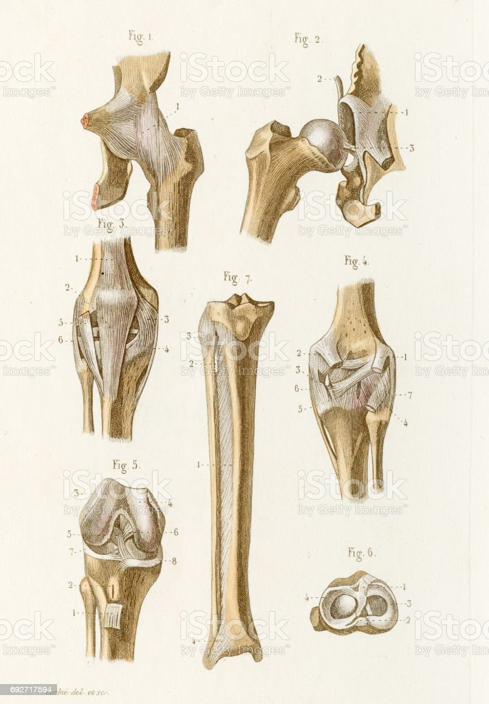 Hip Joint Anatomy Engraving 1886 Stock Vector Art More Images Of