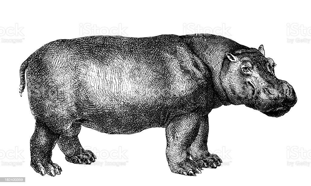 Hippopotamus | Antique Animal Illustrations royalty-free hippopotamus antique animal illustrations stock vector art & more images of 19th century