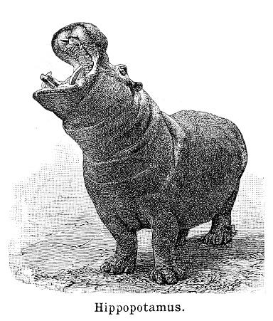 Hippopotamus engraving 1897