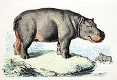 istock Hippopotamus 1218981723