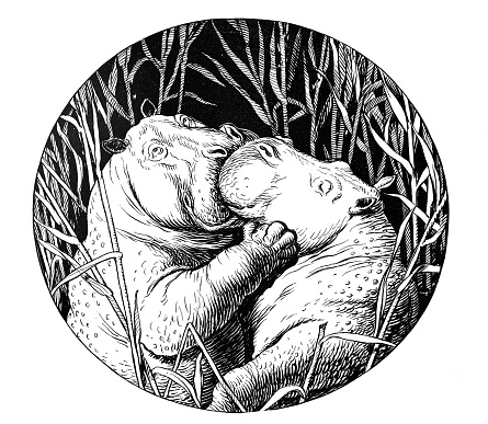 Hippopotamus kiss