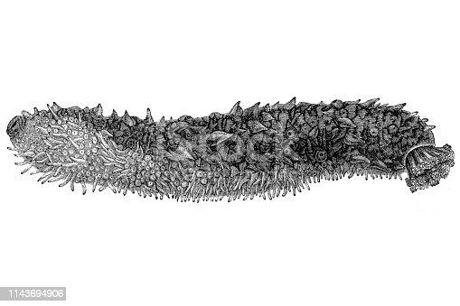 Illustration of a Holothuria tubulosa, the cotton-spinner or tubular sea cucumber