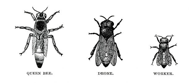 honey bees engraving Engraving of honey bees. In Cyclopedia of Live Stock 1882. queen bee stock illustrations