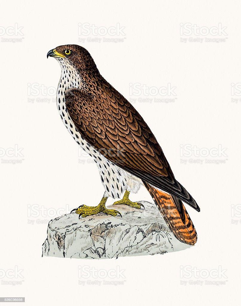 Miel busardo ave de rapiña ilustración de miel busardo ave de rapiña y más banco de imágenes de animal libre de derechos