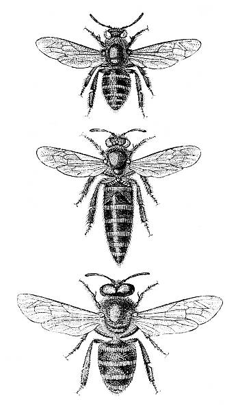Honeybee worker bee queen and drone illustrations http://farm3.staticflickr.com/2806/11465102725_3fa0526c95_o.jpg bee clipart stock illustrations