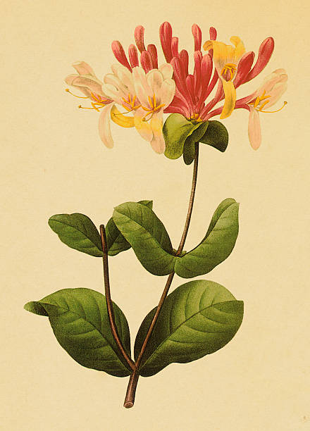 """Honeysuckle   Antique Flower Illustrations """"Antique 19th-century illustration of a honeysuckle. Engraving by Pierre-Joseph Redoute. Published in Choix Des Plus Belles Fleurs, Paris (1827).CLICK ON THE LINKS BELOW TO SEE HUNDREDS OF SIMILAR IMAGES:"""" honeysuckle stock illustrations"""