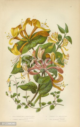 Very Rare, Beautifully Illustrated Antique Engraved Honeysuckle, Honeysuckle Vine, Lonicera, Victorian Botanical Illustration, from The Flowering Plants and Ferns of Great Britain, Published in 1846. Copyright has expired on this artwork. Digitally restored.