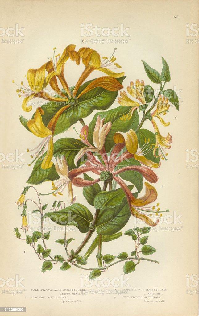 Honeysuckle, Honeysuckle Vine, Lonicera, Victorian Botanical Illustration vector art illustration