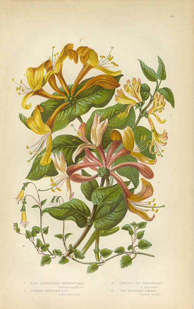 Honeysuckle, Honeysuckle Vine, Lonicera, Victorian Botanical Illustration Very Rare, Beautifully Illustrated Antique Engraved Honeysuckle, Honeysuckle Vine, Lonicera, Victorian Botanical Illustration, from The Flowering Plants and Ferns of Great Britain, Published in 1846. Copyright has expired on this artwork. Digitally restored. honeysuckle stock illustrations