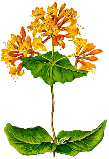 Honeysuckle plant, 19 century litho Photo of an original antique litho from L`Illustration Horticole,Published by J.Linden in 1880. honeysuckle stock illustrations