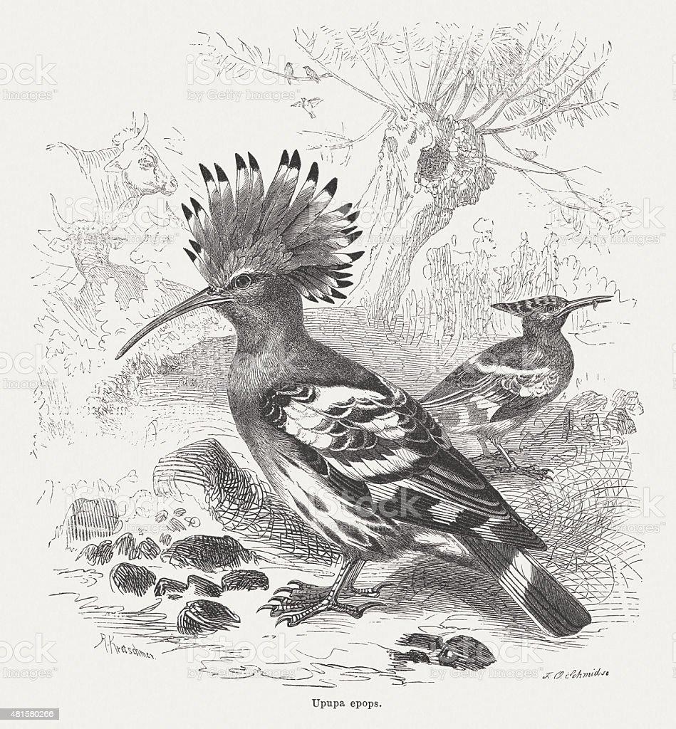 Hoopoe (Upupa epops), published in 1882 vector art illustration