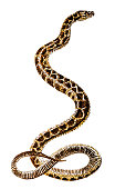 Illustration of a Hoplocephalus is a genus of snakes in the family Elapidae (Cobra)