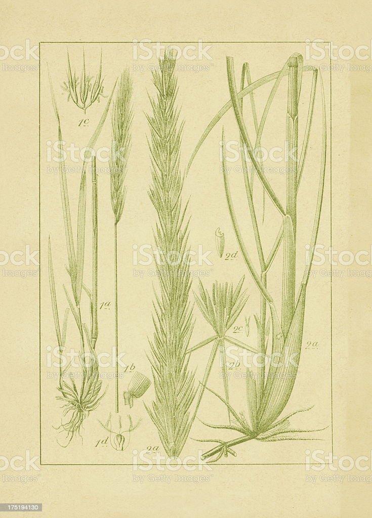Hordeum sylvaticum and lyme grass   Antique Flower Illustrations vector art illustration