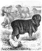 Horned Merino sheep (ram)