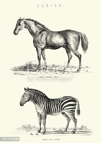 Vintage engraving of a horse and a Zebra, 19th Century