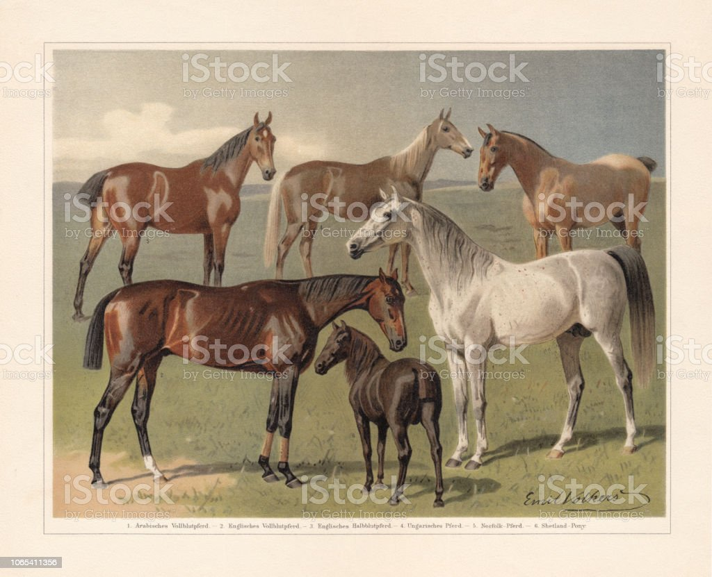 Horse breeds, chromolithograph, published in 1897 vector art illustration