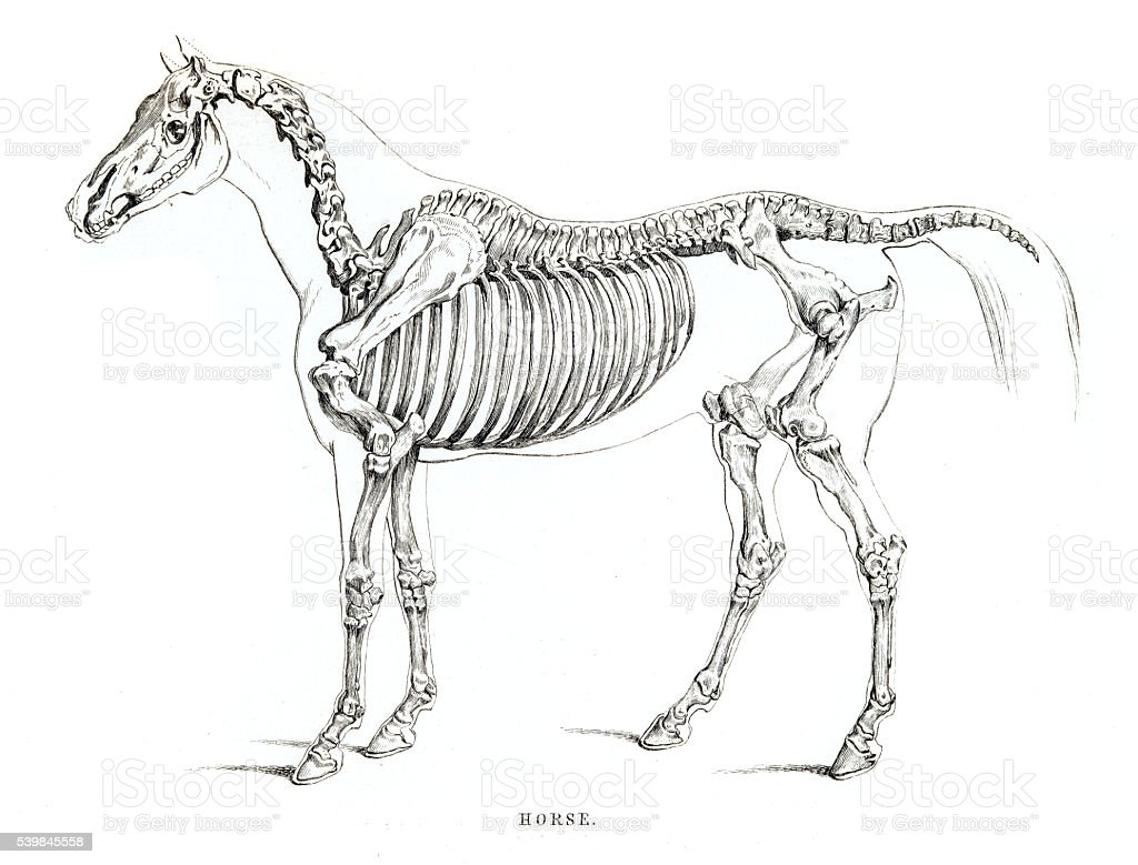 Horse Skeleton Engraving 1841 Stock Vector Art & More Images of ...