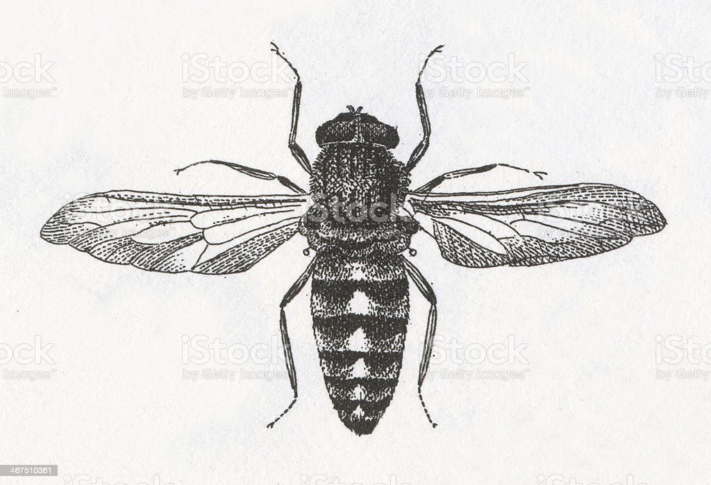 Horse-fly Engraving royalty-free stock vector art