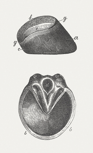 Horse's hoof, wood engraving, published in 1883