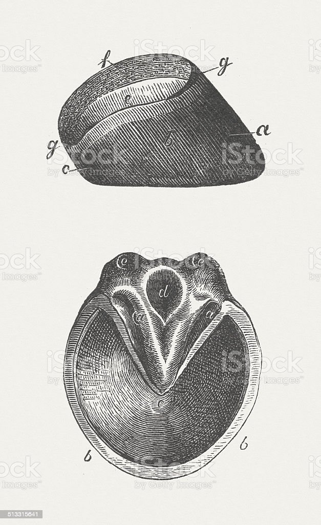 Horse's hoof, wood engraving, published in 1883 vector art illustration