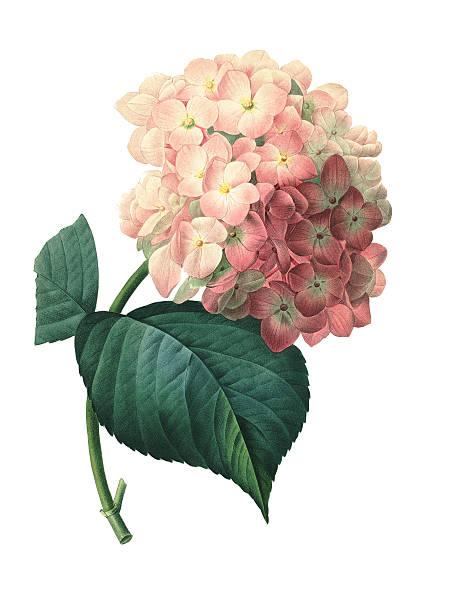 Hortensia | Redoute Flower Illustrations vector art illustration