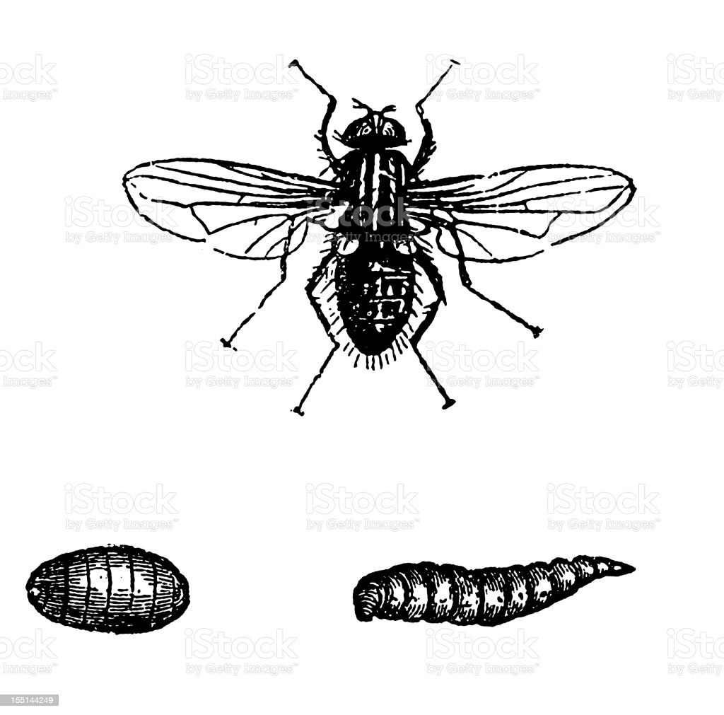 Housefly (Musca Domestica) royalty-free stock vector art