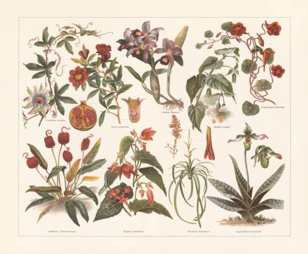 illustrazioni stock, clip art, cartoni animati e icone di tendenza di houseplants, chromolithograph, published in 1897 - illustrazioni di passiflora