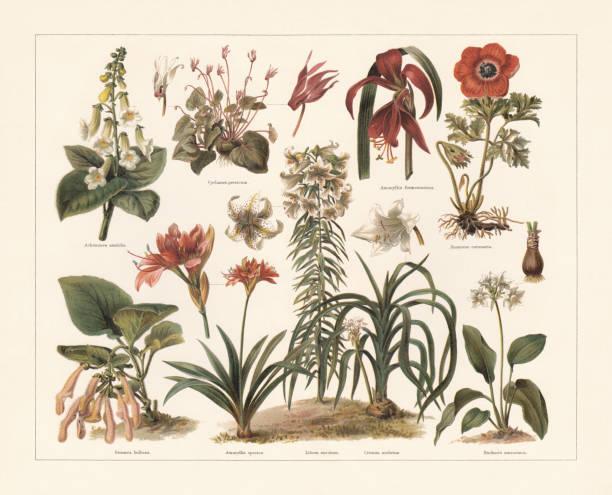 bildbanksillustrationer, clip art samt tecknat material och ikoner med kruk växter, kromolithograph, publicerad i 1897 - amaryllis