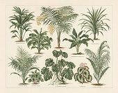 Houseplants: 1) Chinese windmill palm (Chamaerops excelsa, or Trachycarpus fortunei); 2) Cornstalk dracaena (Dracaena fragrans, or Dracaena regina); 3) Chamaedorea lunta, or chamaedorea elegans; 4) Dumbcane (Dieffenbachia Seguine picta); 5) Dracaena nutans; 6)  Wild date palm (Phoenix reclinata); 7) Watermelon peperomia (Peperomia argyrea); 8) Swiss Cheese Plant (Philodendron pertusum, or Monstera deliciosa); 9) Begonia rex; 10) Cocos flexuosa (or Syagrus flexuosa). Lithograph, published in 1897.