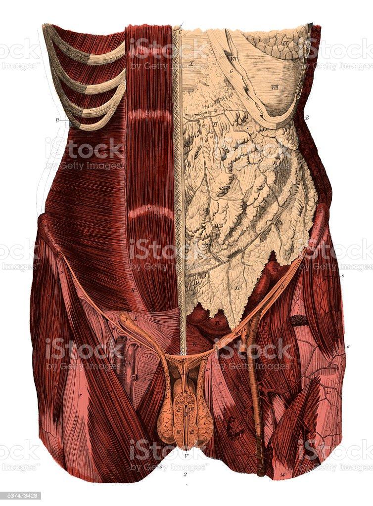 Ilustración de Abdomen Humano Antiguas Científica Médica ...