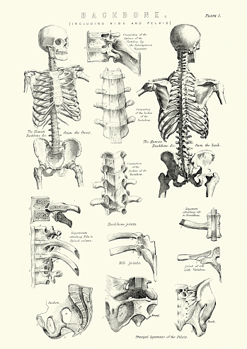 Human Anatomy - Backbone including Ribs and Pelvis