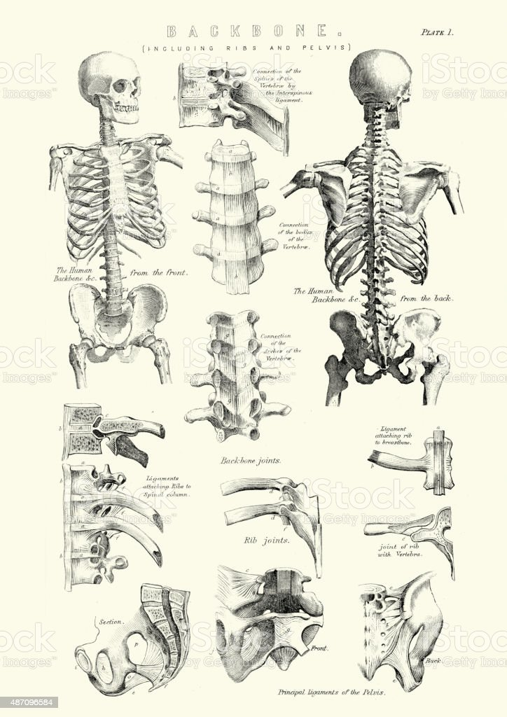 Human Anatomy - Backbone including Ribs and Pelvis vector art illustration